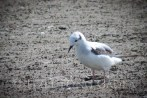 Bonaparte Gull-0591